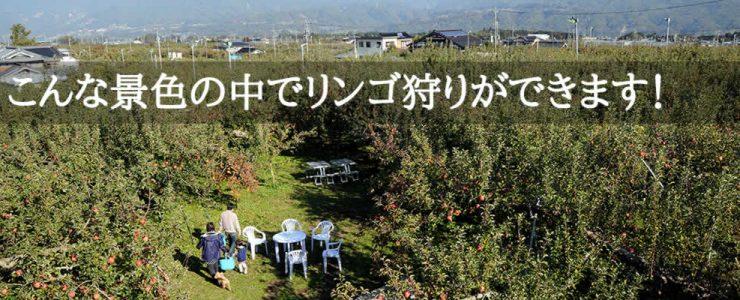 こんな景色の中でリンゴ狩りができます!